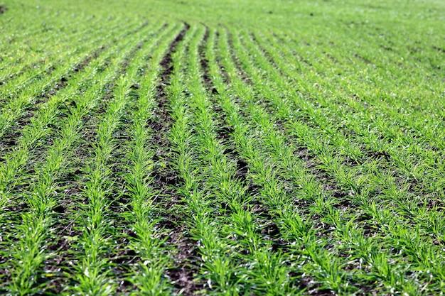 Boerderij veld met jonge scheuten van tarwe