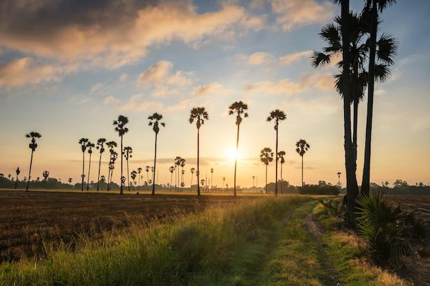 Boerderij voetpad naar suikerpalm en padieveld bij zonsopgang in dongtan sam khok, pathum thani, thailand. landbouw voedingsindustrie in warm land. mooi oriëntatiepunt voor vakantieganger.