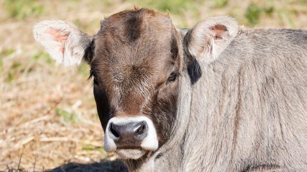 Boerderijdieren in vrijheid concept: close-up van de snuit van een lichtbruine koe