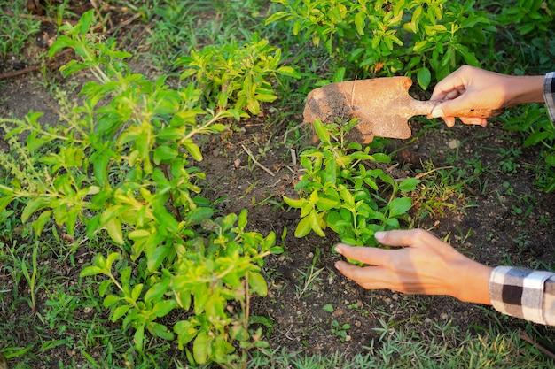 Boeren die een kleine roestige schop voor natuurlijke mest vasthouden en de basilicumboom in de grond scheppen.