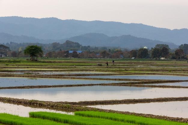 Boeren die op het gebied van rijst werken