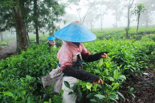 Boeren die thee plukken