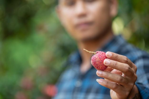 Boeren houden lychee-cheques in de tuin.