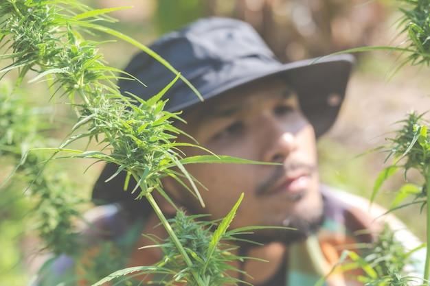 Boeren houden marihuana (cannabis) bomen op hun boerderijen.