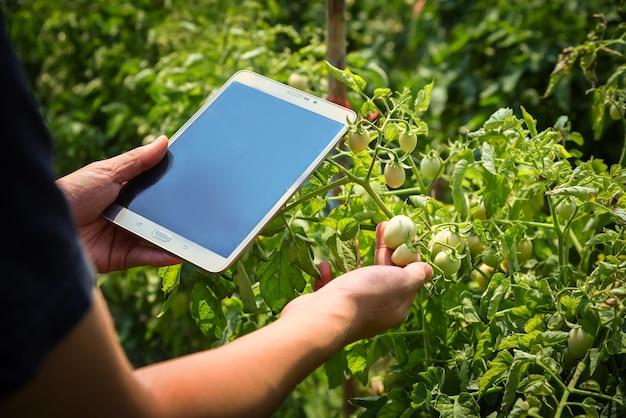 Boeren inspecteren tomaten die bijna gaar zijn en wachten op de oogst op de boerderij.