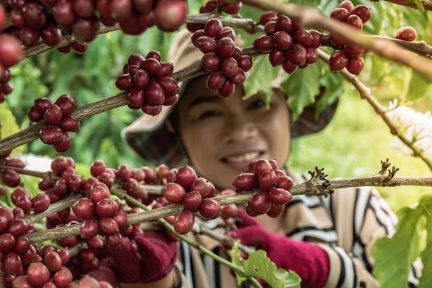 Boeren oogsten de koffieplantages van de familie
