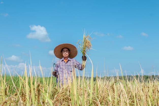 Boeren oogsten gewassen in rijstvelden. heldere hemeldag