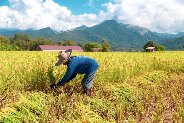 Boeren oogsten rijst in de hete zon: nan, thailand, 25 oktober 2018