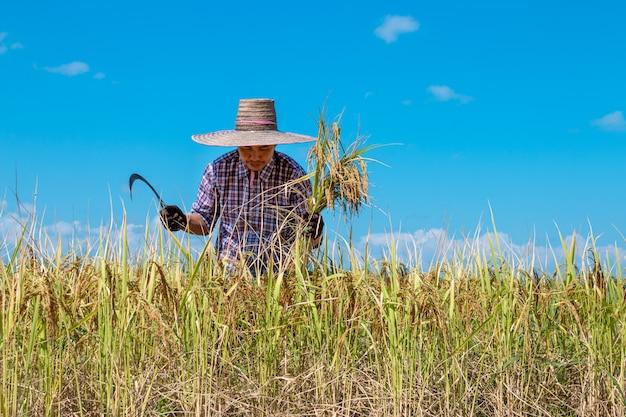 Boeren oogsten rijst in de velden op heldere blauwe hemel