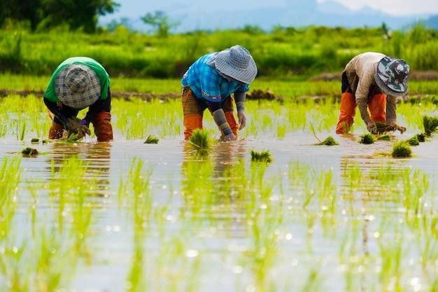 Boeren planten rijst in de boerderij. boeren buigen om rijst te verbouwen. landbouw in azië. teelt met behulp van mensen.