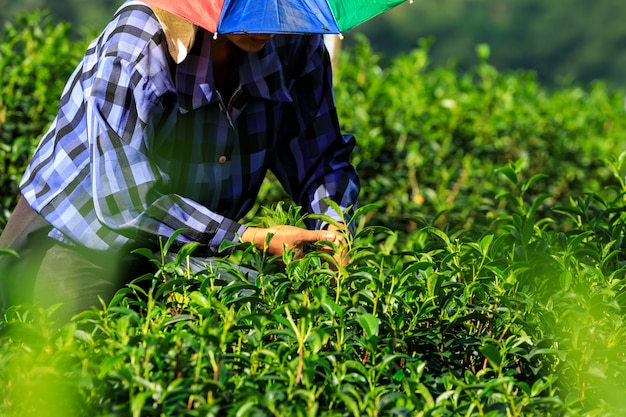 Boeren plukken theebladeren.