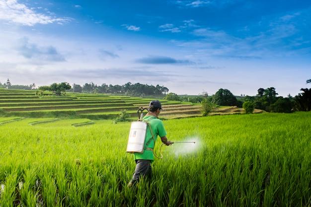 Boeren sproeien in de rijstvelden in de ochtend
