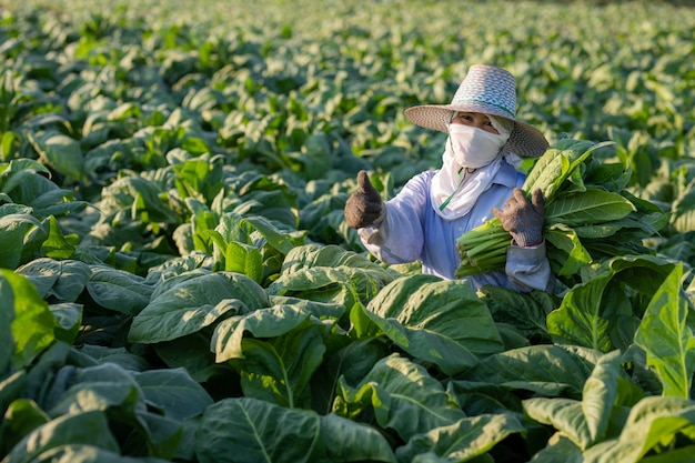 Boeren verbouwden tabak in een verbouwde tabaksteelt in het land, thailand.