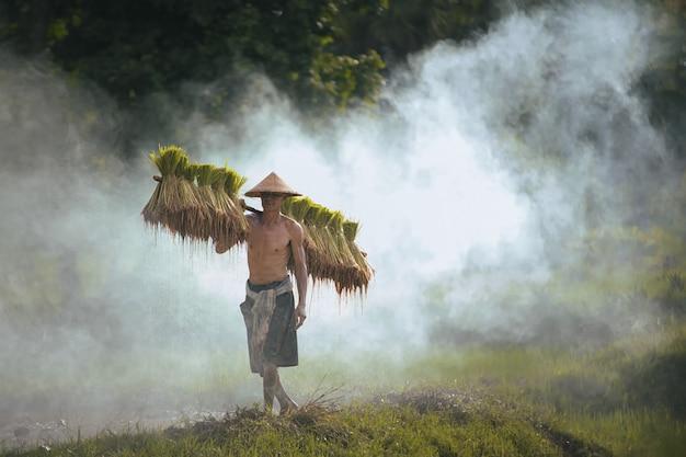 Boeren verbouwen rijst in het regenseizoen, rijstboeren planten rijstzaailingen, thailand, zuidoost-azië.