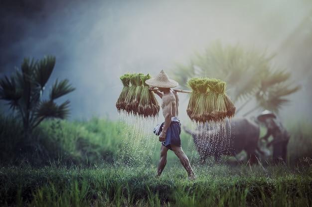 Boeren verbouwen rijst in het regenseizoen.