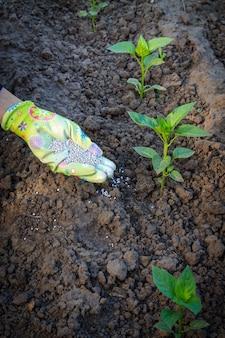 Boerenhand gekleed in een handschoen die kunstmest geeft aan jonge peperplanten