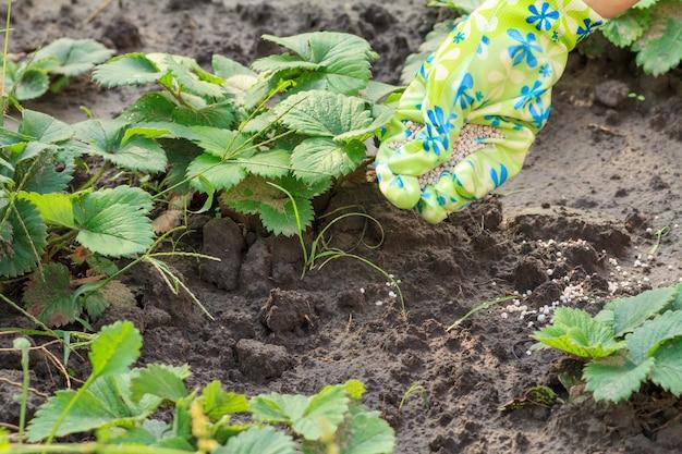 Boerenhand gekleed in latexhandschoen die kunstmest geeft aan jonge aardbeienplanten