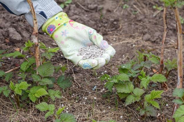 Boerenhand gekleed in rubberen handschoen die chemische mest geeft aan de grond naast de frambozenstruiken in de tuin. verzorging van de lentetuin