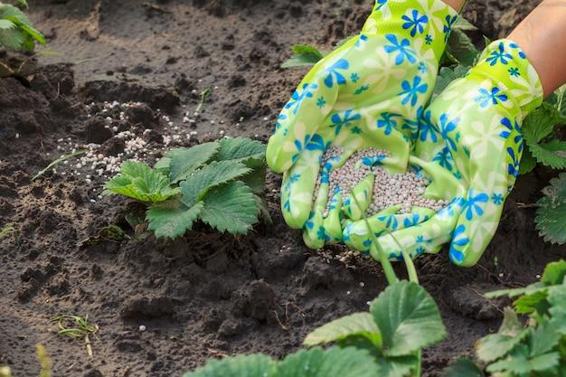 Boerenhanden gekleed in latexhandschoenen die kunstmest geven aan jonge aardbeienplanten