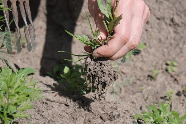 Boerenmeisje verwijdert het onkruid. veld met aardappelen en rode biet. landbouw. warme zonnige dag