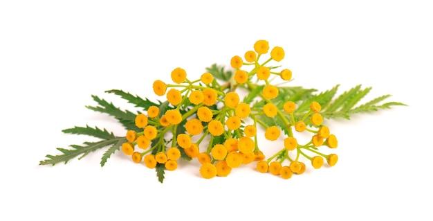 Boerenwormkruid of tanacetum vulgare bloemen, geïsoleerd op een witte achtergrond. medicinale kruidenplant.