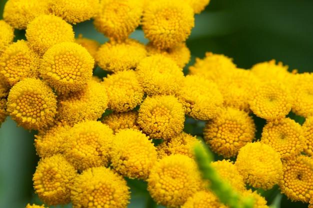Boerenwormkruid tanacetum vulgare, plant met gele bloemen. het wordt in de geneeskunde gebruikt als een anthelminticum en choleretisch middel