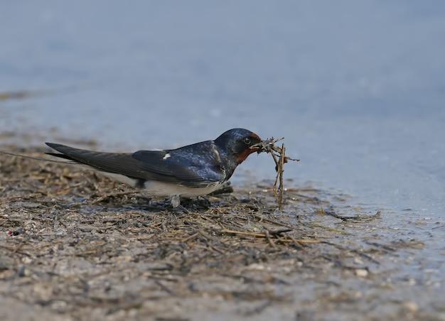 Boerenzwaluw verzamelt op de oever bouwmateriaal voor een toekomstig nest.