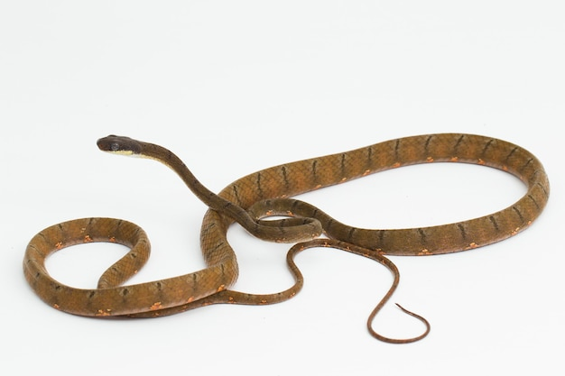 Boiga drapiezii witgevlekte kat slang geïsoleerd op witte achtergrond