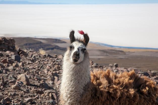 Boliviaanse lama's fokken op het andesplateau, bolivia