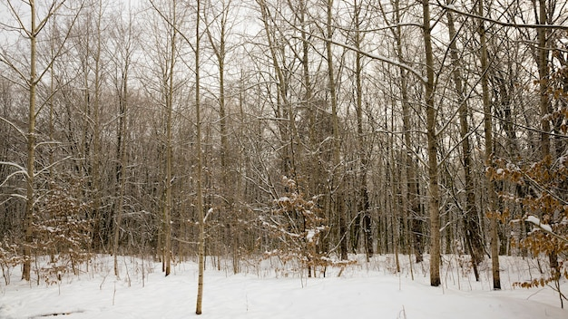 Bomen die in de winter in het bos groeien
