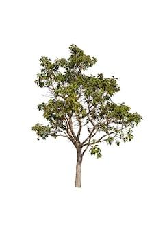 Bomen geïsoleerd op wit, tropische bomen in azië.