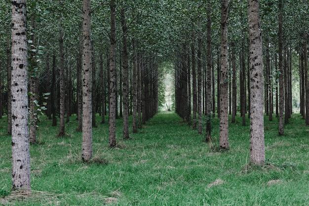 Bomen geplant in een rij in het bos