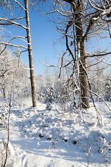 Bomen groeien in het bos. foto genomen in de winter na een sneeuwval.
