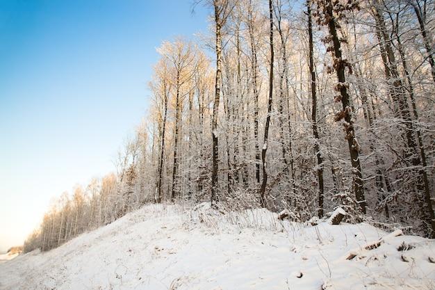 Bomen groeien in het bos in de winter