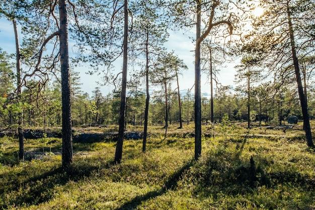 Bomen in bos bij zonsopgang