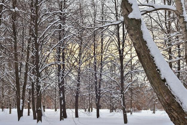 Bomen in de sneeuw in het winterbos bij zonsondergang, winterpark in de sneeuw