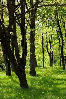 Bomen in het park, bedekt met dicht gebladerte van groene kleur, zomer