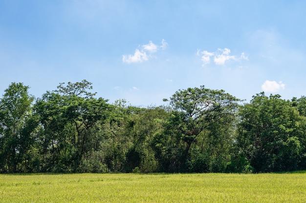 Bomen met rijstveld en blauwe lucht op het platteland op zonnige dag