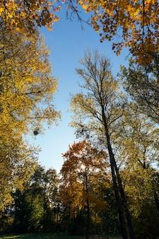Bomen met vergeelde esdoornbladeren in de herfst.
