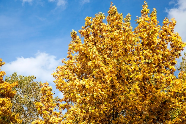 Bomen met vergeelde esdoornbladeren in de herfstseizoen. de foto is van dichtbij genomen, op de achtergrond is de blauwe lucht te zien. zonneschijn in de vroege herfst