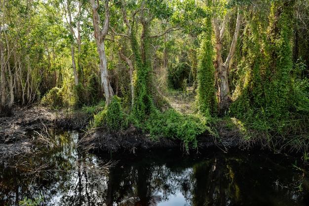 Bomen (paperbark-theebomen) met klimopbomen op het moerasbos van het turf