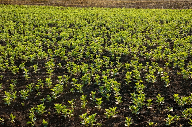 Bonen, fava, flora, veldbonen, jonge planten in de lente, zonovergoten bladeren