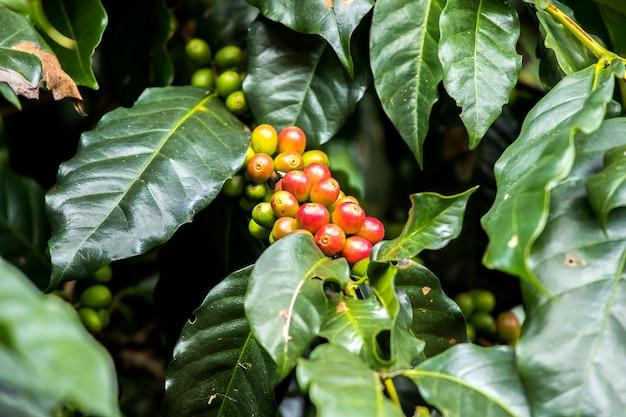 Bonen van de close-up de verse koffie die het groeien op boom met koffieblad rijpen