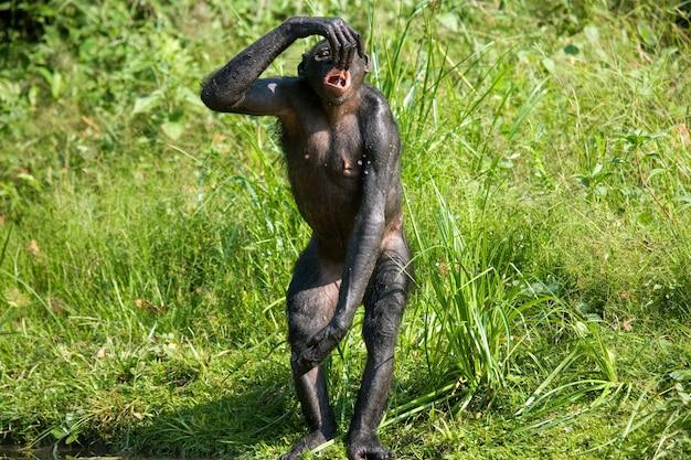 Bonobo drinkt water uit het meer. democratische republiek van congo. nationaal park lola ya bonobo.