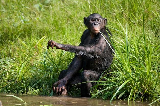 Bonobo is vlakbij het meer. democratische republiek van congo. nationaal park lola ya bonobo.