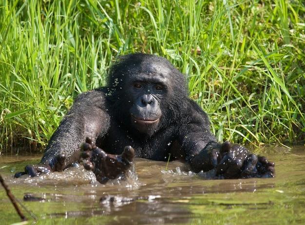 Bonobo ligt in het water. democratische republiek van congo. nationaal park lola ya bonobo.