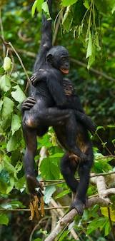 Bonobo op een boom. democratische republiek van congo. nationaal park lola ya bonobo.