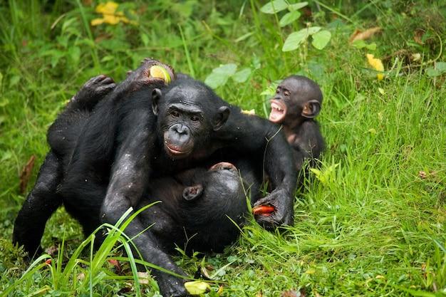Bonobo's liggen op de grond. democratische republiek van congo. nationaal park lola ya bonobo.