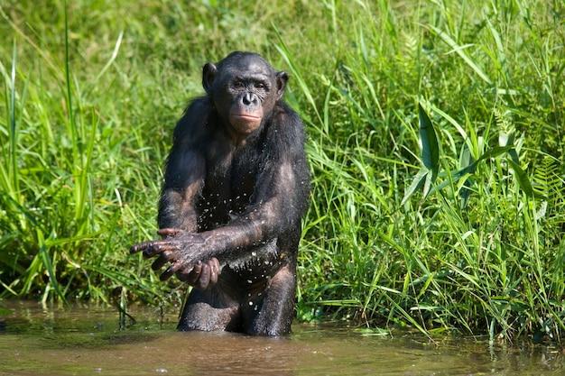 Bonobo staat aan de rand van de vijver. democratische republiek van congo. nationaal park lola ya bonobo.
