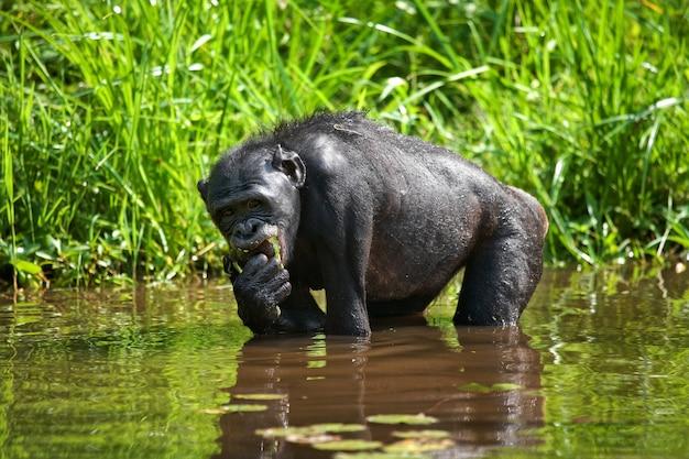 Bonobo zit bij de vijver. democratische republiek van congo. nationaal park lola ya bonobo.
